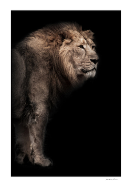 powerful Asian lion male against the background of a dark