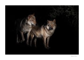 a pair of wolves male and female in the darkness