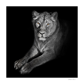lioness on a black background. looks attentively.