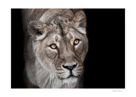 big cat portrait of a muzzle of a curious peppy lioness