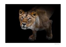 peppy lioness close-up.