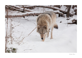 IMG_1495-16beast hunting sniffs prey. Gray wolf