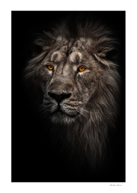 Contrast photo of a maned (mane, hair) powerful male lion