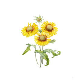 Vintage Blanket Flowers Floral Botanical Illustration