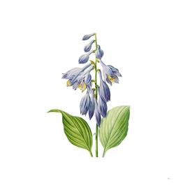 Vintage Blue Daylily Floral Botanical Illustration