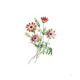 Vintage Broad Leaved Anemone Botanical Illustration