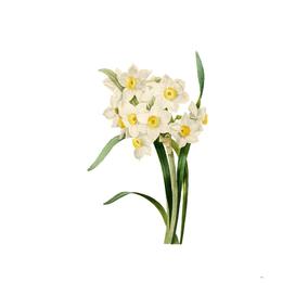 Vintage Bunch Flowered Daffodil Botanical Illustration