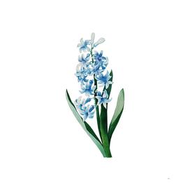 Vintage Dutch Hyacinth Botanical Illustration