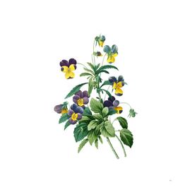 Vintage Johnny Jump Up Botanical Illustration