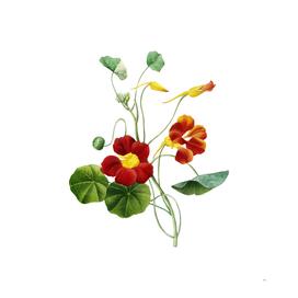 Vintage Monks Cress Botanical Illustration