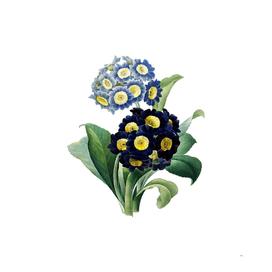 Vintage Mountain Cowslip Botanical Illustration