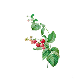 Vintage Red Berries Botanical Illustration