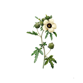 Vintage Venice Mallow Botanical Illustration
