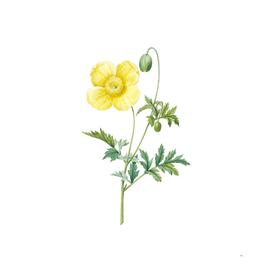 Vintage Welsh Poppy Botanical Illustration