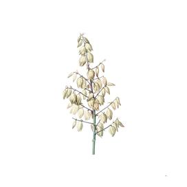 Vintage Adam's Needle Botanical Illustration
