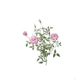 Vintage Blooming Dwarf Rosebush Botanical Illustratio