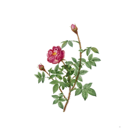 Vintage Blooming Moss Rose Botanical Illustration