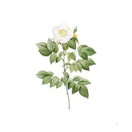 Vintage Blooming Leschenault's Rose Botanical Illustration