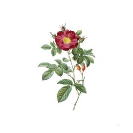 Vintage Blooming Red Portland Rose Botanical Illustra