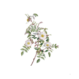 Vintage Blooming Reddish Rosebush Botanical Illustrat