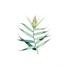 Vintage Bush Cane Botanical Illustration