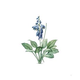 Vintage Daylily Botanical Illustration
