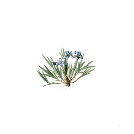 Vintage Dwarf Crested Iris Botanical Illustration