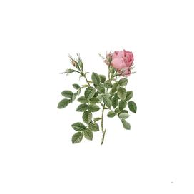 Vintage Dwarf Damask Rose Botanical Illustration