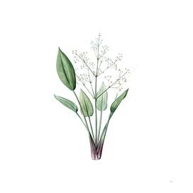 Vintage European Water Plantain Botanical Illustratio