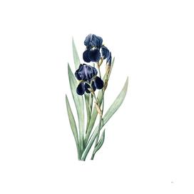 Vintage German Iris Botanical Illustration