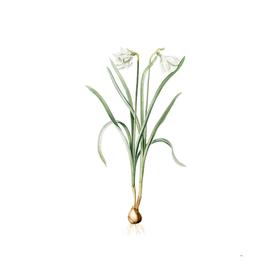 Vintage Narcissus Candidissimus Botanical Illustratio