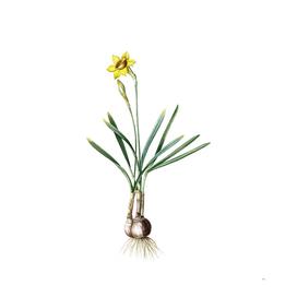 Vintage Narcissus Gouani Botanical Illustration