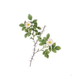Vintage Spiny Leaved Rose of Dematra Botanical Illust