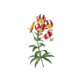 Vintage Turban Lily Botanical Illustration