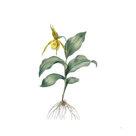 Vintage Yellow Lady's Slipper Orchid Botanical Illust