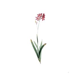 Vintage Corn Lily Botanical Illustration