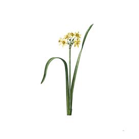 Vintage Cowslip Cupped Daffodil Botanical Illustratio