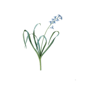 Vintage Dutch Hyacinth Botanical Illustration