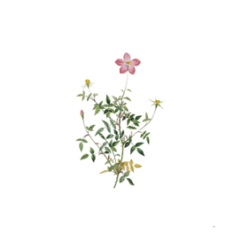 Vintage Single Dwarf Chinese Rose Botanical Illustrat
