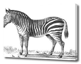 Vintage Zebra