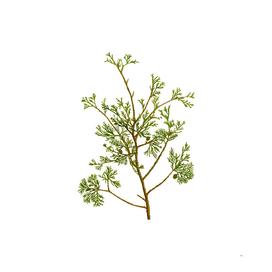 Vintage Atlantic White Cypress Botanical Illustration
