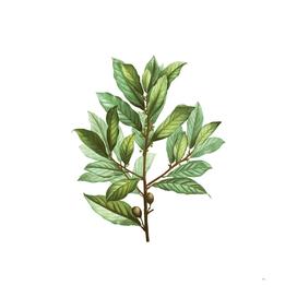 Vintage Bay Laurel Botanical Illustration