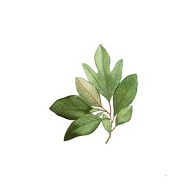 Vintage Bay Laurel Branch Botanical Illustration