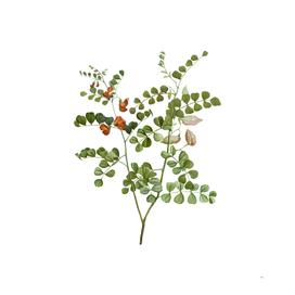 Vintage Blood Spotted Bladder Senna Botanical Illustr
