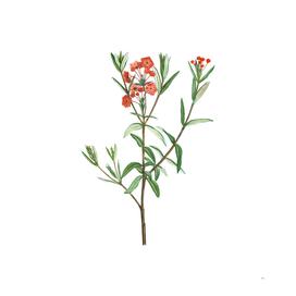 Vintage Bog Laurel Bloom Botanical Illustration