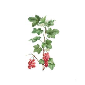 Vintage Redcurrant Plant Botanical Illustration
