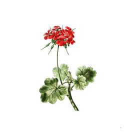 Vintage Scarlet Geranium Botanical Illustration