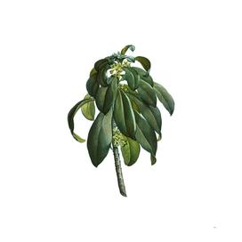 Vintage Spurge Laurel Weeds Botanical Illustration