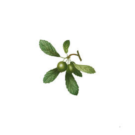 Vintage Crabapple 1 Botanical Illustration
