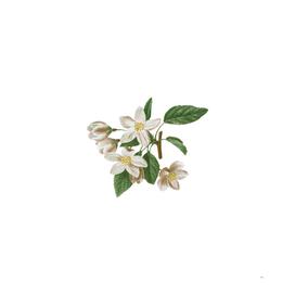 Vintage Crabapple 2 Botanical Illustration